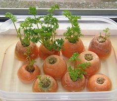 Cómo hacer que rebroten tus zanahorias - Jardineria