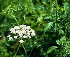 Anise - Medicinal and culinary uses.
