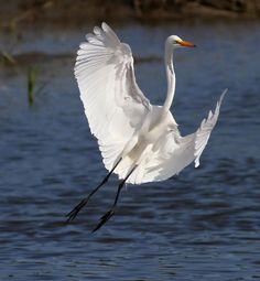 An egret at Huntington Beach State Park SC