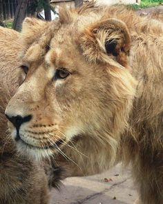 Élet és tudomány - Az elveszett tizenkettő (Kihalt állatok a Kárpát Medencéből) Lion, Animals, Leo, Animales, Animaux, Lions, Animal, Animais