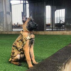 German Shepard Facts -- Click visit link to see Belgium Malinois, Belgian Malinois Dog, Army Dogs, Police Dogs, Military Working Dogs, Military Dogs, Belgian Shepherd, German Shepherd Dogs, Pastor Belga Malinois