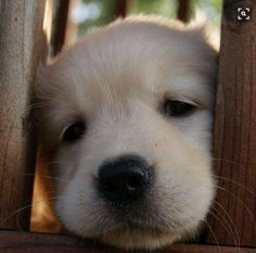 Little Golden Retriever puppy. Cute Baby Animals, Animals And Pets, Funny Animals, Cute Puppies, Dogs And Puppies, Cute Dogs, Doggies, Corgi Puppies, Retriever Puppy