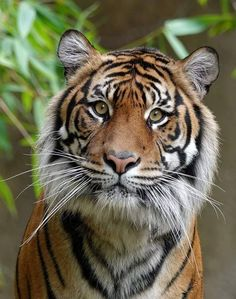 Wild Animals Pictures, Teddy Bear Pictures, Animal Pictures, Beautiful Cats, Animals Beautiful, Big Cats, Cute Cats, Lion Tigre, Animals And Pets