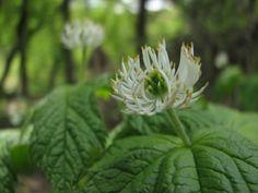 Prairie Moon Nursery :: Seeds :: Hydrastis canadensis (Goldenseal)