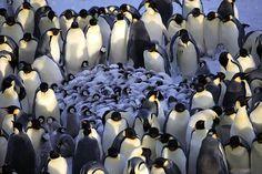 pinguinuek