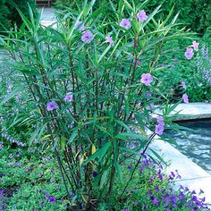 Ruellia brittoniana 'Purple Showers' (Mexican petunia, Common ruellia, Wild petunia) - Another plant from Sandy. back flower garden. Tropical Landscaping, Outdoor Landscaping, Tropical Garden, Gardening Zones, Fine Gardening, Tall Purple Flowers, Angie's Flowers, Shower Plant, Pinterest Garden