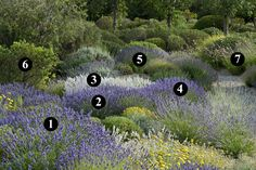 1 : Lavandula x intermedia 'Hidcote Giant' 2 : Lavandula x intermedia 'Grosso' Dry Garden, Gravel Garden, Garden Park, Garden Plants, Plant Design, Garden Design, Gaura, Spanish Garden, Mediterranean Plants