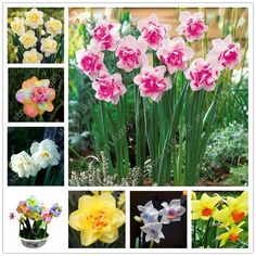 100 pcs/bag narcissus flower,Bonsai seeds of aquatic plants double petals Pink Daffodil seeds flower seeds for home garden