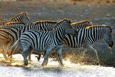 Seeprat - seepra savanniseepra nisäkäs villieläin eläin Equus quagga Namibia Etosha kansallispuisto Afrikka kasvissyöjä raita raidat raidallinen mustavalkoinen vesi yhdessä lauma harja juova juovikas roiske roiskua kahlata