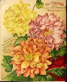 Paeony Flowered Dahlias. R. & J. Farquhar & Co. (1910)