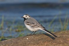 A breeding bird of fast-flowing, upland rivers, the grey wagtail can also be seen in lowland areas, farmyards and even towns in winter.  Info: The Wildlife Trusts Grey Wagtail, Bird Gif, Unique Wedding Venues, One Summer, Canario, Farm Yard, Canary Islands, Tenerife, Bird Feathers