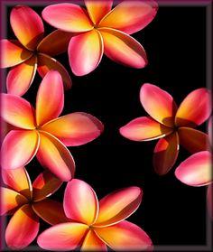 Plumeria Flowers