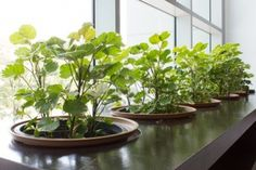 Horta dentro de casa | garden indoors