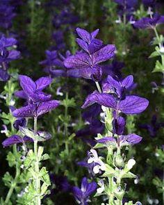 blauer Schopfsalbei - einjährig, mediterraner Garten, kann sich selbst versamen