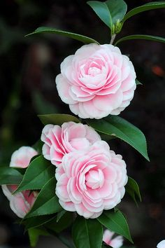 Camellia japonica 'Fendan' (China, 1949)