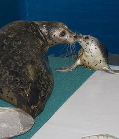 Kobuk was recently born at the Alaska SeaLife Center to two of their harbor seals, Atuun and Snapper. Beautiful Babies, Animals Beautiful, Alaska Sealife Center, Baby Animals, Cute Animals, Harbor Seal, Sea Lions, All Gods Creatures, Animal Shelter