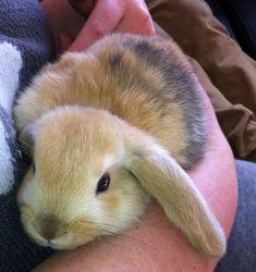 Dwarf Lop Eared Rabbits   Beautiful Dwarf Lop Eared Rabbit   Newcastle Emlyn, Ceredigion ...