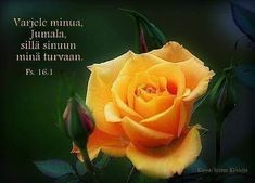 Helmiä elämäni ketjuun: Varjele minua Jumala Chihuahua, Rose, Flowers, Plants, Pink, Roses, Chihuahua Dogs, Planters, Flower