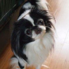 Japanese Chin! She looks like my Pandee!!