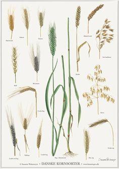 Danske kornsorter | A4 Plakat – Lollik