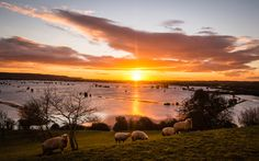 Sheep graze on the ancient Somerset site of Burrow Mump as the sun rises over the flooded Somerset Levels