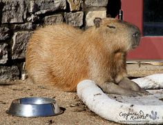 Oh noble capybara, why can you not figure out how to use a dog bed?