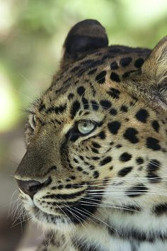 The Amur Leopard by Jeff Grabert - one of the most endangered animals on the Planet.