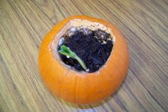 **Science - Open up the pumpkin, add a little soil and water, and watch the seeds (which are already inside the pumpkin) grow. // FUN - need to remember this for next year!