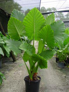 Algemene omschrijving Alocasia macrorrhizos of olifantsoor is een reus die 4 m hoog kan reiken. De bladeren ontstaan vanuit het centrum van de plant uit de knol, het nieuwe blad is telkens groter dan het vorige. Deze kunnen tot 2 m lang op een bladsteel van 1 m lang worden. In tropische...