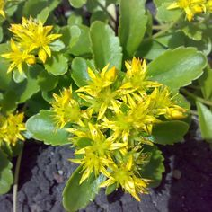 Rhodiola rosea ia a natural adaptogen and nootropic which boost the mental concentration, improve the mood and alleviate stress. Healing Herbs, Medicinal Plants, Natural Healing, Ayurveda, Natural Health Remedies, Herbal Remedies, Begonia, Outdoor Plants, Garden Plants