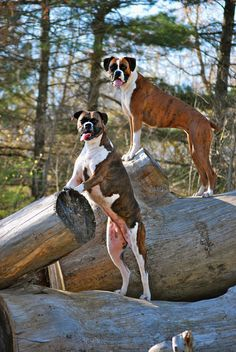 posing for the camera #boxer #dog ~ re-pinned by boxerdogchecks.com
