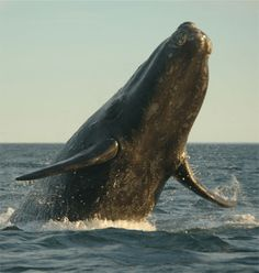 NATURE CALLING... Baja California Sur...watched just such whales from my deck last night. Love it.