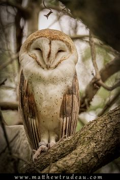 The Barn Owl (Tyto alba) is the most widely distributed species of owl, and one of the most widespread of all birds. It is also referred to as Common Barn Owl, to distinguish it from other species in the barn owl family Tytonidae. T. alba is found almost anywhere in the world except polar and desert regions, Asia north of the Alpide belt, most of Indonesia, and the Pacific islands. They have been introduced to control rodents in the Hawaiian island of Kauai. R Trudeau Photography