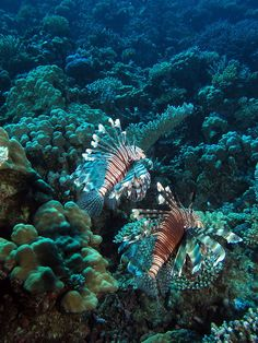 A pair of common lionfish at Gota Abu Ghusur Reef, Red Sea, Egypt #SCUBA #UNDERWATER #PICTURES by Derek Keats, via Flickr