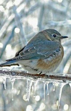 Animals in Winter Wonderland Blue Bird Pretty Birds, Beautiful Birds, Animals Beautiful, Cute Animals, Animals Amazing, Pretty Animals, Beautiful Creatures, Baby Animals, Especie Animal