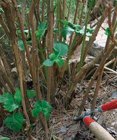 Hydrangeas - Pruning Education