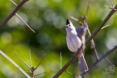 Black-crested Titmouse | - Back yard, Austin, TX | Flickr Pictures Of The Week, Austin Tx, Backyard, Animals, Black, Animales, Yard, Black People, Animaux