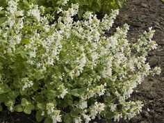 Nepeta racemosa 'Snowflake'/ Catmint. Zone 5. 1-1.5' tall x 1-1.5'' wide. Blooms spring to summer.