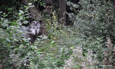 'Wolf' aus dem Blog 'Hannover: Zoo, Hotel und etwas Nightlive'