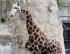 This was Gemina, a giraffe which was found to have a dominant crooked neck joining to its body at the Santa Barbara Zoo. Unfortunately, it died on January 9, 2008.