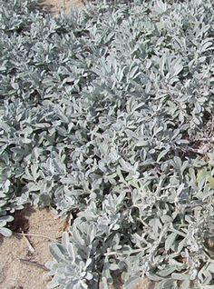Artemisia stelleriana 'Morris Strain' - Dusty Miller