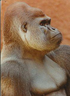 Rigo the gorilla, Melbourne Zoo. 1990