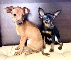Mini Pomeranian, Pomeranian Puppy For Sale, Toy Poodles For Sale, Puppies For Sale, Mini Pinscher, Miniature Pinscher, Mini Dachshund, Shetland Sheepdog, Pembroke Welsh Corgi
