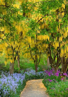 Golden chain tree, Laburnum, ( seen at the Van Dusen Botanical Garden, Vancouver BC,CANADA) Magic Garden, Dream Garden, Garden Paths, Beautiful World, Beautiful Gardens, Beautiful Flowers, Golden Chain Tree, The Secret Garden, Parcs