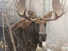 """♥♥ """"Bull Moose"""" Robert Bateman. 950 s/n Paper, 18.5"""" x 25"""", $1685. 180 s/n Giclee Canvas, 30"""" x 40"""", $995 → """"The first snows of winter find the bull moose in peak condition. His antlers have been cleared of the ragged velvet leftover from the summer growing, and his coat has reached its thick and glossy prime. He is also in a fighting mood and a dangerous animal even though the rutting season is over."""""""