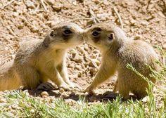 Kissing chipmunks.