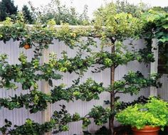Apple espalier against a fence
