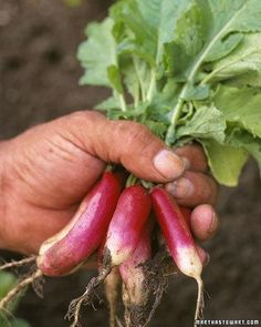 'Early French Breakfast' Radish This variety (Raphanus sativus) is a heat-tolerant heirloom radish with superior crunch.