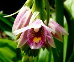 geodorum-flower-2.jpg (1871×1579)