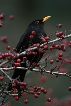 °Blackbird by Chris Bolton